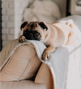 A pug lying on the couch